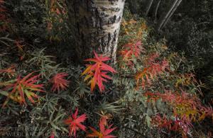 Fireweed and Birch tree.