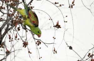 Red-winged Parrot feeding on Bauhinia flowers.